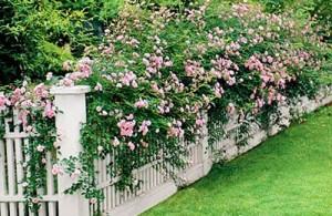 thumb_2518521_roses1.jpg